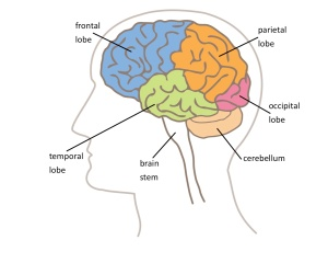 brain regions1