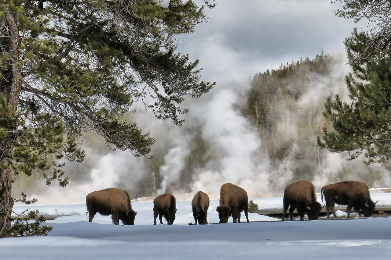 yellowstone-snowmobiling-bison-wildlife-1280x853